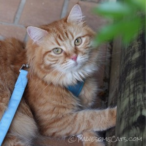 Beautiful Amber shows off her pretty blue harness!